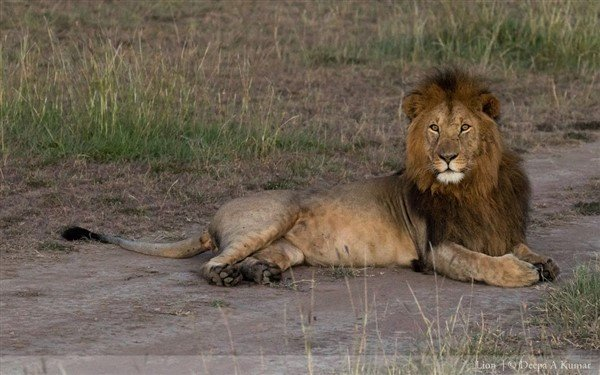 Lion at Maasai Mara. Photographer Deepa A Kumar